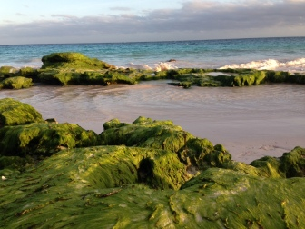 Green moss grows on beach rocks in the winter