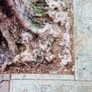 Love tree roots in old sidewalks!