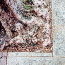 Love tree roots in old sidewalks!